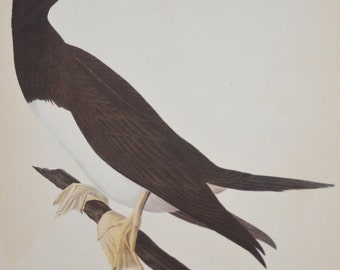 Vintage Audubon Original White-Bellied Booby Plate