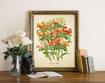 Vintage Botanical Print, Peruvian Lily Print, Lily Botanical Print, Lily of the Incas, Alstroemeria Print, Peruvian Lily Illustration Fl107