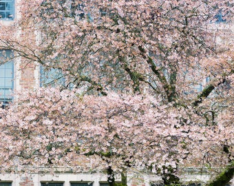 Springtime Cherry Blossoms, Blooms, Flowers, University of Washington, Majestic, Quaint Bench, Buds - Travel Photography, Print, Wall Art