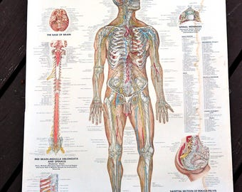 Peter Bachin Anatomical Chart - The Vascular System Chart / Anatomy Medical Art Poster / School Chart Human Body Map / Graphics / Industrial