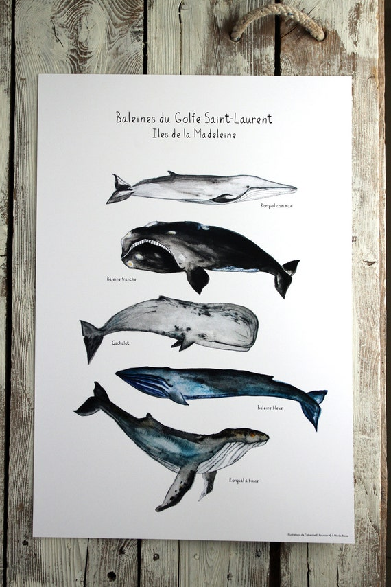 "Poster WHALES of St-Laurence gulf - 13"" x 19"""