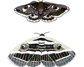 Lepidoptera Emperor Moth