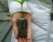 TreesAgain Meyer Lemon Trees - Citrus meyeri - starter plugs
