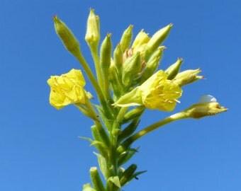 Wild Evening Primrose   Oenothera biennis
