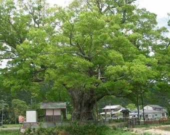Zelkova Serrata - 30 Seeds - Japanese Keyaki Elm - Great Bonsai Subject