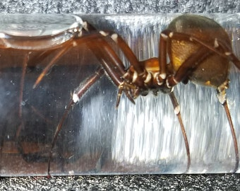Preserved black widow spider specimen. Deadly and beautiful. Must see.