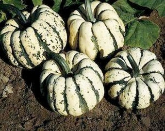 3 Plants - Sweet Dumpling Winter Squash - Organic