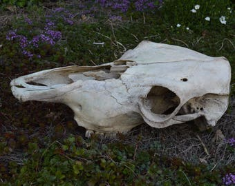 Real Cow Skull