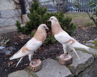 Domestic Pigeon's Pair Taxidermy