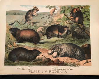 The Hamster, Lemming, and Pouched Rat - Antique Print, Plate LIV: Rodentia, Original 1880 Color Lithograph