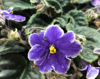 African Violet Carolina Ariosa Full Grown!! Free Shipping!!