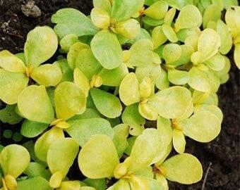 Purslane Golden Herb Seeds/Portulaca Oleracea Sativa/Annual  75+