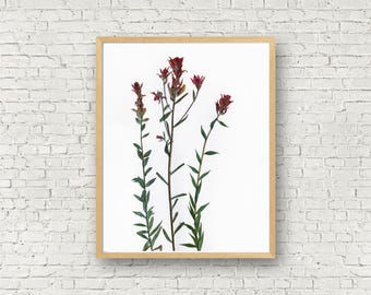 Indian Paintbrush - Red Wildflower Herbarium Botanical Print - Paint Brush Flower - Castilleja - Dried Flower Art - Floral Artwork - Pressed
