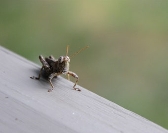 Grasshopper Photo, Summertime Photo, Insect Photography