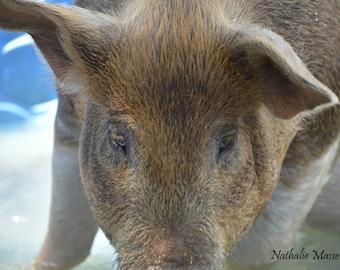 Pig face - photograph of a beautiful brown pig