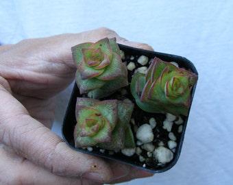 Crassula perforata , String of Button Succulent