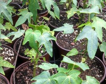 Papaya Fruit Tree - Carica papaya - Live Plants!
