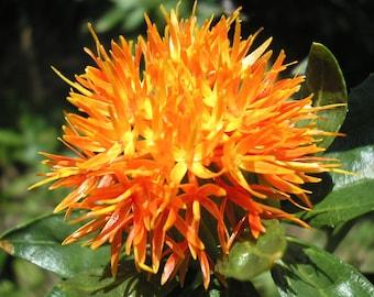 Carthamus tinctorius Safflower Herb Orange Flower Organic Non GMO 10 Seeds Fresh False Saffron #2021