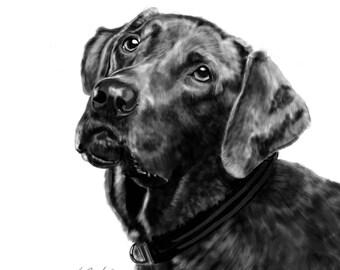 Fine Art Print - Chocolate Labrador Retriever