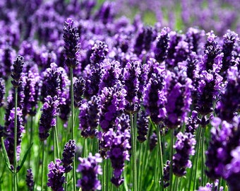 Lavender Fragrant Oil   Phthalate Free