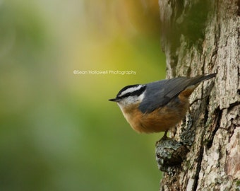 Red-breasted Nuthatch // Bird Photography // Bird Art // Home Decor // Wall Prints // Bird Watching