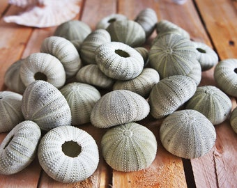 "Bulk 30 X green Sea Urchin 2''-3.5""-qty 30-Beach Home Decor-Sea Urchin-Beach Wedding Decor-Sea Shells-Sea Urchin-Nautical Decor-Urchin Bulk"