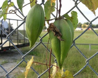 Honeyvine Milkweed Seeds