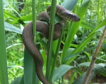"""Snake Photo Art, Black Snake Framed Photograph, 5x7"""""""