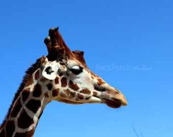 Giraffe; Blue sky; San Diego Zoo; Safari; San Diego, California; Wall art; Poster; bedroom; children's room; playroom; bathroom