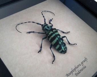 Real beetle framed - Anoplophora graafi
