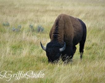 Bison Photo, Original Photography, Photo Print, Bison Art, Wall Art