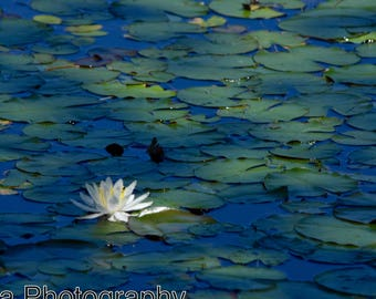 lily pads, nature photography, lotus flower photography, flower photography, fine art photography, pond, lily pond, lily pad photography