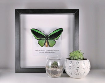 The Green Birdwing Butterfly (Ornithoptera Priamus Poseidon) Male Framed Specimen