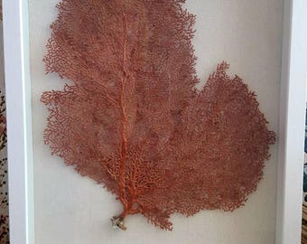 Gorgeous Sea Fan Coral Shadowbox