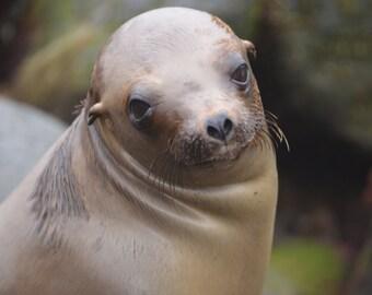 Sea Lion, La Jolla Cove