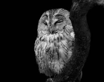 Bird of Prey, Tawny Owl, Photography, Bird Photography, Animal Photography, Nature Photography, Nature, Fine Art, Wall Art, Limited Edition