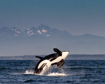 Canvas Print of an Orca Breaching the Water