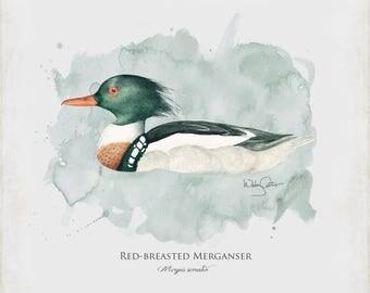 Merganser Duck 12 X 12 Watercolor Fine Art Paper Print