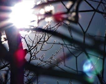 Cape Cod Sun Buds