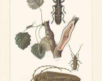 Vintage lithograph of cerambycidae, longhorn beetles, large poplar borer, small poplar borer from 1956