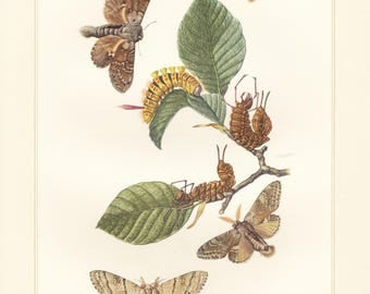 Vintage lithograph of pale tussock, lobster moth, tussock and prominent moths from 1956