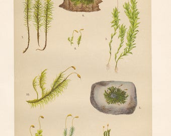 Vintage lithograph of common haircap moss, funaria moss, dotted mnium, pincushion moss, undulate dicranum moss from 1911