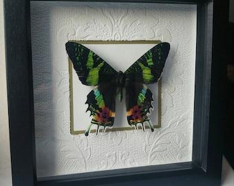 Real framed Madagascan sunset moth
