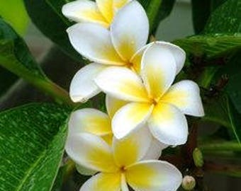 SURPRISE!  colors  Plumeria Cutting, unrooted