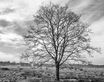 Tall oak - a black and white photograph, Monochrome oak tree photograph, Oak tree print, Black and white photographic print, Tree silhouette