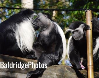 Black and White Colobus Monkey Photo