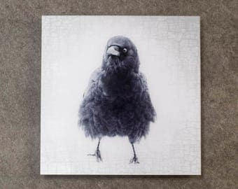 Mabel the Very Fluffy Crow - Fine Art Metallic Photo Print Bonded with Plexiglass, 12 x 12-in Square Transmount Print by June Hunter