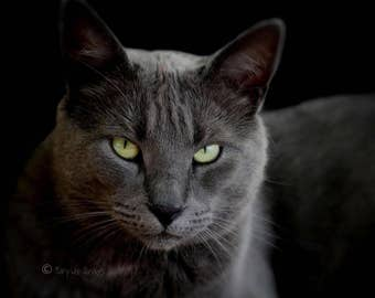 Russian blue cat fineart photography perfect photo for any decor