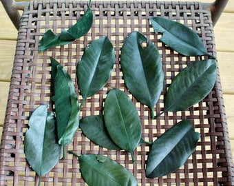 Magnolia leaves-IMPERFECT 100 leaves preserved green - Gift wrapping-Party Favors-Wedding invitations