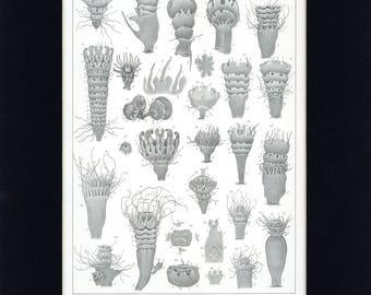 Beautiful 1860 Jellyfish - Strobila of Aurelia Flavidula Aquatic Natural History Antique Print